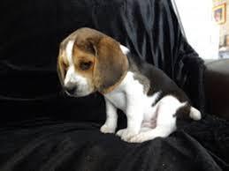 pocket beagle puppies denver