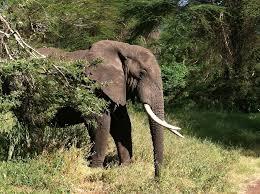 wild animals in african jungle. Interesting African Elephant Animal Wildlife Mammal African Jungle To Wild Animals In African T