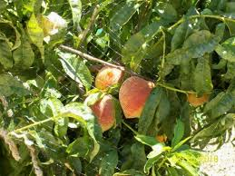Best 25 Growing Peach Trees Ideas On Pinterest  Peach Trees What Fruit Trees Grow In Michigan