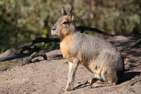 Rodents Lower Classifications Patagonian Mara Rodent Britannica