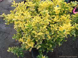euonymus japonica aurea marginatus