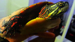 Painted Turtle How To Tell The Difference Between Boy And Girl