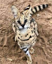 "The serval is sometimes called ""the cat of spare parts"" because of it's  unusual appearanc 