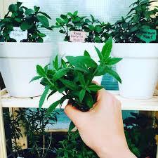 how to start an herb garden for beginners