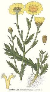 Chrysanthemum segetum Corn Marigold PFAF Plant Database
