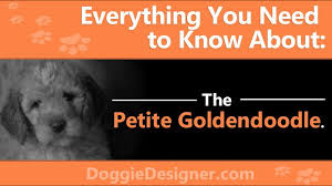 Goldendoodle Weight Chart The Petite Goldendoodle A Complete Guide Doggie Designer