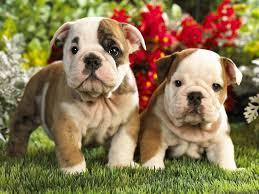 Image result for bulldog spring