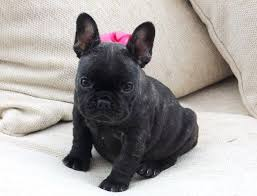 solid black french bulldog. Solid Brindle French Bulldog Puppies With Black
