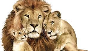 lions pride of awsome lion lioness