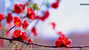 Red Flower Wallpaper Bunches Of Small Red Flowers Wallpaper