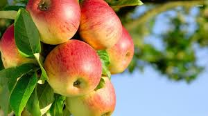 fruit trees wallpapers. Exellent Trees Apple Tree Wallpaper  Photography Wallpapers  Fruit Plants  Garden Trees Throughout Wallpapers L