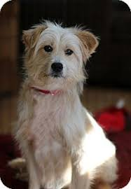 wire haired terrier mix. Plain Wire Berkeley Heights NJ  Terrier Unknown Type MediumWirehaired Fox Throughout Wire Haired Mix H