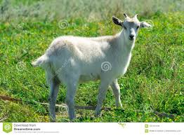 funny goat with one horn
