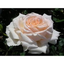 rosier sweet love harmisty les roses
