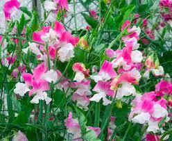 <b>Душистый горошек</b>: выращивание из семян, посадка и уход в ...