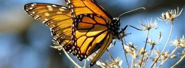 essay monarch butterfly on the deck kosmos journal essay monarch butterfly on the deck