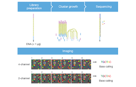 Illumina Sequencing Flow Chart 2 Channel Sbs Technology Faster Sequencing And Data