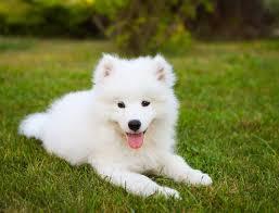 Samoyed Dog Breed » Everything About ...