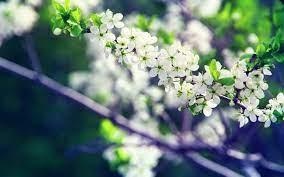White Flowers Hd Desktop