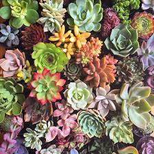marin master gardeners about succulents