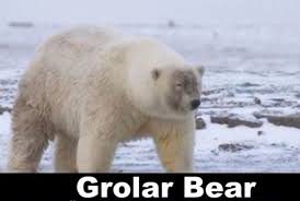 grolar bear size whew climate change not likely to cause grolar bears watts up