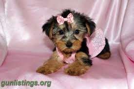 teacup yorkie puppies for adoption. Plain Teacup Misc Awesome Teacup Yorkie Puppies For Adoption Throughout U