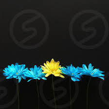 blue and yellow flowers lined up on