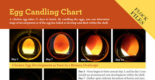 Egg Candling Chart Egg Candling Chart Backyard Poultry