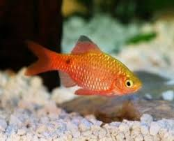 What Fish Can Live With Goldfish 8 Goldfish Tank Mates List