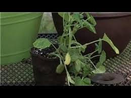 container gardening growing potted summer squash