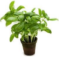 Fresh Basil To Dried Basil Conversion Chart How Much Is In A Bunch Of Basil