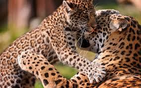 baby jaguar wallpaper. Perfect Jaguar Jaguar Jaguars Cat Baby Wallpaper Throughout Baby Jaguar Wallpaper