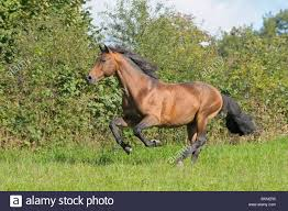 horses galloping in a field. Plain Galloping Holstein Breed Horse Galloping In The Field On Horses Galloping In A Field