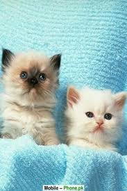 cute kittens wallpapers for mobile. Interesting For Really Cute Cats And Kittens Intended Cute Kittens Wallpapers For Mobile A