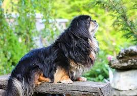 Cavalier Weight Chart Growth Tibetan Spaniel Puppy Weight Chart Tibetan Spaniel