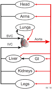 Pathway Of Blood Flow To The Right Kidney Flow Chart Cv Physiology Series And Parallel Vascular Networks