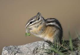 Complete Care For Baby Chipmunks