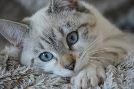 Can Cats Take Benadryl? | Canna-Pet®