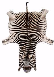 real zebra skin rug 3 burchell s hide perfect quality box set with regard to remodel 7