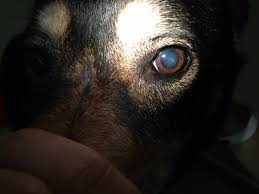 What Is The Cloudiness In My Dogs Eyes Blog Carlson