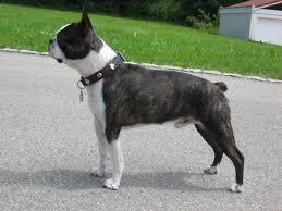 Boston Terrier Size Chart Boston Terrier Wikipedia