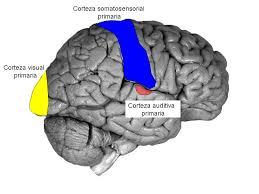 Resultado de imagen para La corteza que se encarga de la percepción visual evoluciona durante mucho más tiempo del que se pensaba