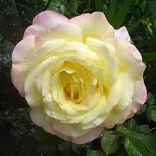 American Rose Size Chart Rosa Peace Wikipedia