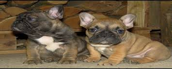 blue french bulldog breeders french bulldogs for blue chocolate tan lilac white puppies available for