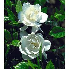 2 gallon august beauty gardenia intense fragrance evergreen long blooming season