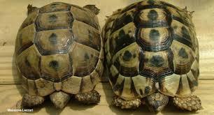 Spur Size Chart Basic Information Sheet Greek Or Spur Thighed Tortoise