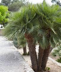 fan palm trees. european fan palm tree trees