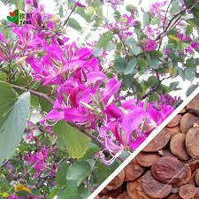 <b>10Pcs</b>/<b>bag bauhinia flower seeds</b> bauhinia tree butterfly tree rare ...