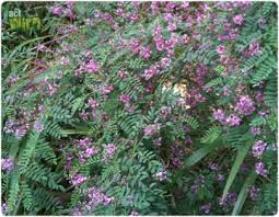 Image result for indigofera australis