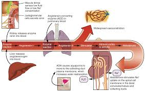 Renin Angiotensin Aldosterone System The Pathway Of Action